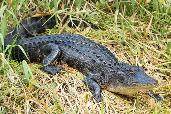 Full body view of an alligator resting in grass